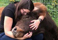 Amerikāņi maksā 75 dolārus stundā, lai varētu samīļot govis