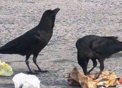 Francijā vārnas parkā sākušas vākt atkritumus. Par to tās saņem ēdienu